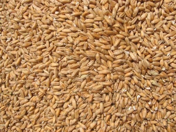 wheat-1193475-1280x960