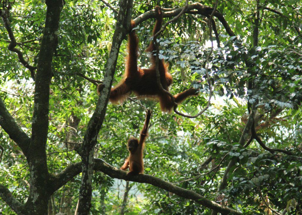 Una madre y su bebé orangután, una especie en peligro de extinción, en el ecosistema Leuser en Sumatra.